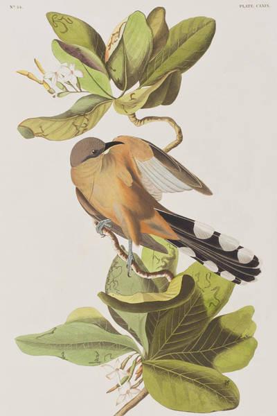 Cuckoo Drawing - Mangrove Cuckoo by John James Audubon
