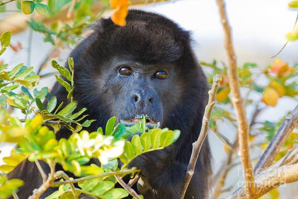 Ensenada Photograph - Mantled Howler Monkey by B.G. Thomson