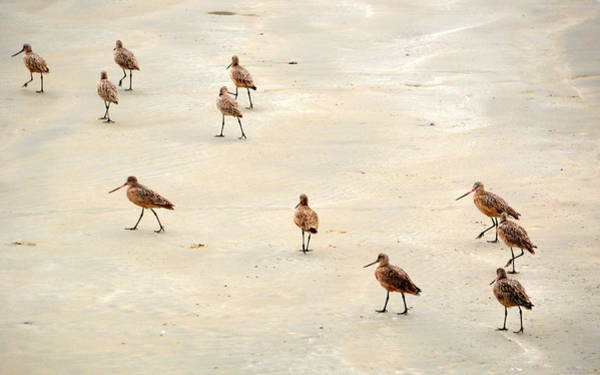 Photograph - March Of The Sandpipers by AJ Schibig