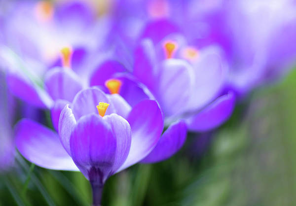 Crocus Wall Art - Photograph - Marching Into Spring by Rebecca Cozart