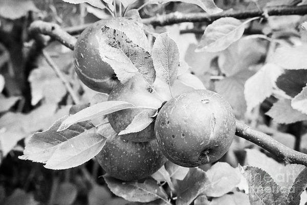 Wall Art - Photograph - Marks And Splits On Home Grown Discovery Apples In A Garden In The Uk by Joe Fox