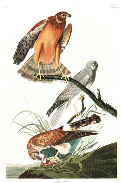Wall Art - Painting - Marsh Hawk by John James Audubon
