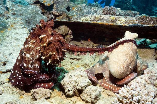 Wall Art - Photograph - Mating Pair Of Day Octopuses by Georgette Douwma