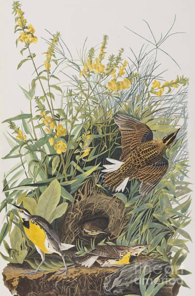 Meadow Lark Painting - Meadow Lark by John James Audubon