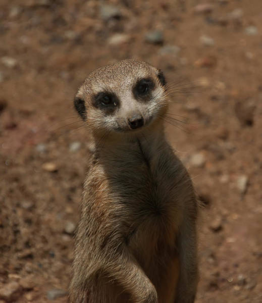 Photograph - Meerkat by Chris Flees
