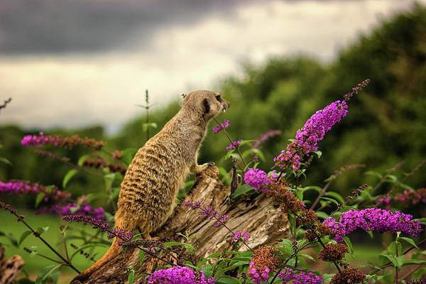 Adapted Photograph - Meerkat Lookout by Martin Newman