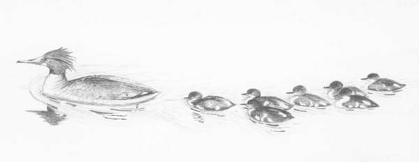 Drawing - Merganser Family by Marsha Karle