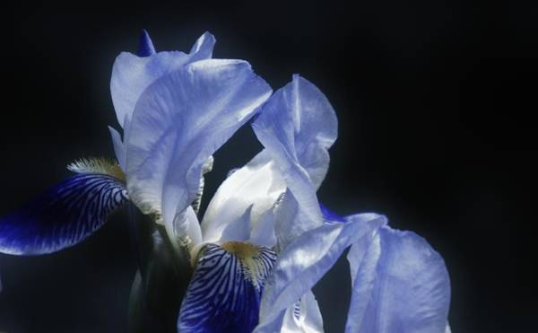 Photograph - Midnight Blue Iris by Barbara St Jean