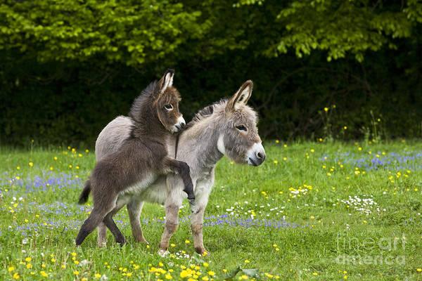Equus Africanus Photograph - Miniature Donkeys by Jean-Louis Klein & Marie-Luce Hubert