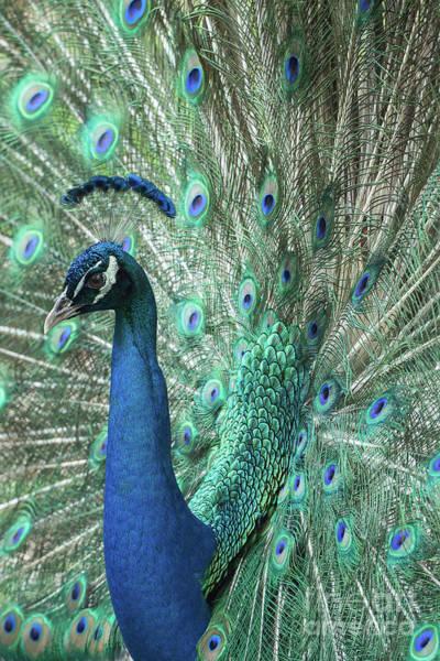Wall Art - Photograph - Mister Peacock  by Sabrina L Ryan