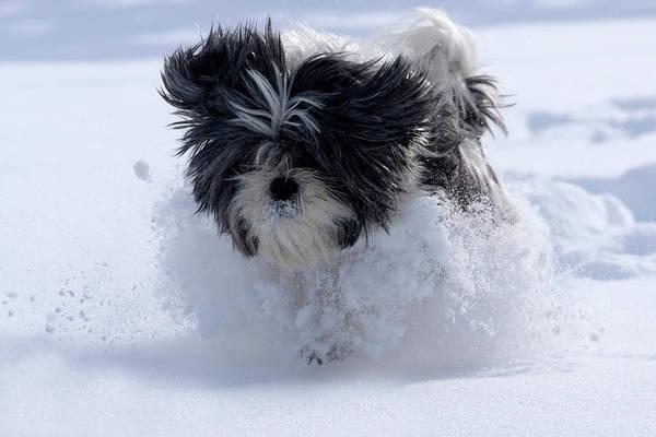 Photograph - Misty Runs Through The Snow by Cliff Norton