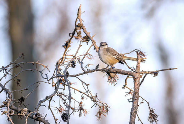 Photograph - Mockingbird Perched On A Tree Branch On A Sunny Winter Day by Patrick Wolf