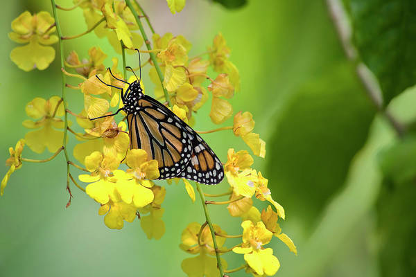 Monarch Butterfly On Yellow Orchids Art Print