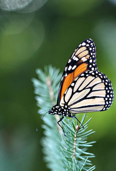 Wall Art - Photograph - Monarch Butterfly by Celestial  Blue