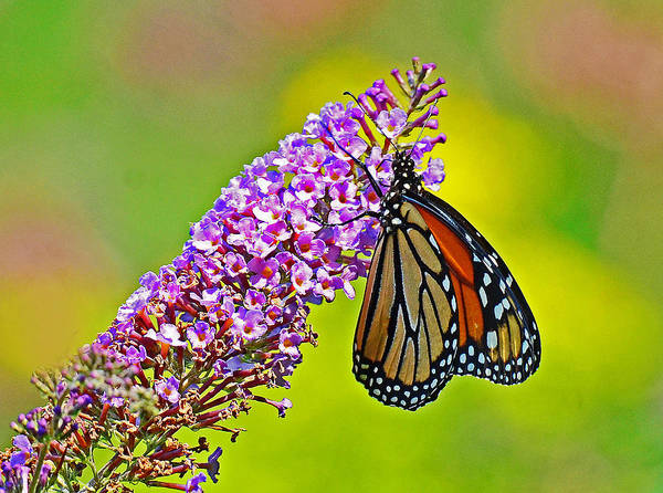 Photograph - Monarch Butterfly by Rodney Campbell