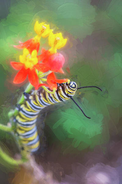 Photograph - Monarch Caterpillar And Milkweed Flowers by Rich Franco