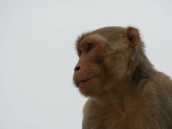 Wall Art - Photograph - Monkey On The Prowl by Kamala Sharma