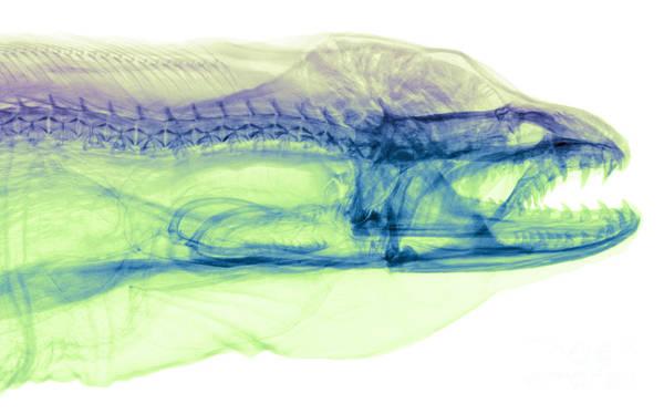 Photograph - Moray Eel, Gymnothorax Funebris, X-ray by Ted Kinsman