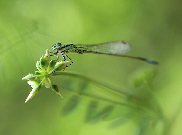 Photograph - Morning Impression With Blue Dragonfly by Jaroslaw Blaminsky