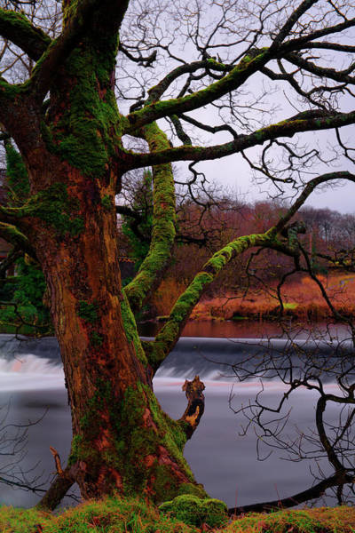 Photograph - Mossy Tree Leaning Over The Smooth River Wharfe by Dennis Dame