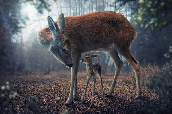 Wall Art - Photograph - Mother And Fawn by John Wilhelm