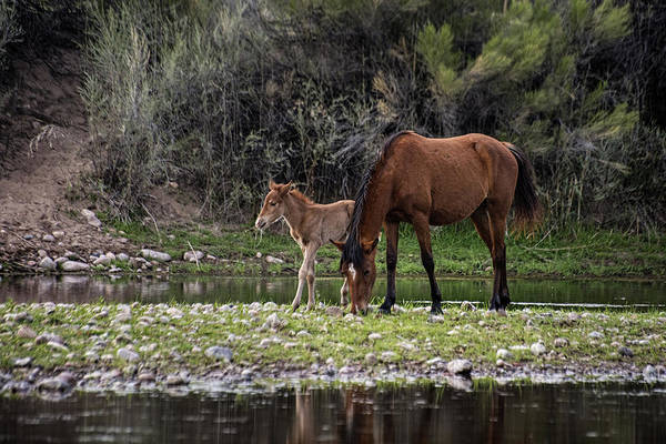 Photograph - Mother And Foal Wild Salt River Horses by Dave Dilli