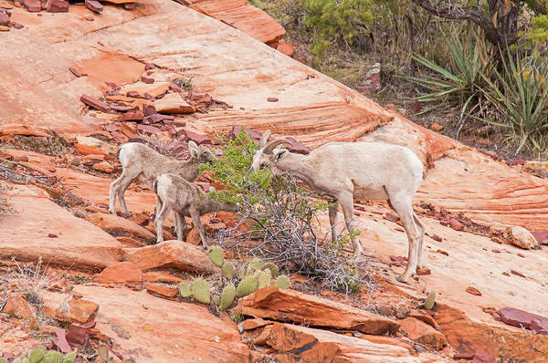 Wall Art - Photograph - Mother Desert Bighorn Ewe With Pair Of Lambs by Rich Leighton