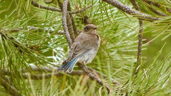 Photograph - Mountain Bluebird Juvenile 2 by Dan Miller