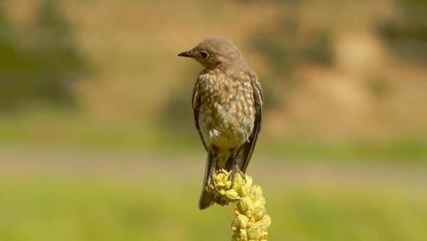 Photograph - Mountain Bluebird Female 2 by Dan Miller