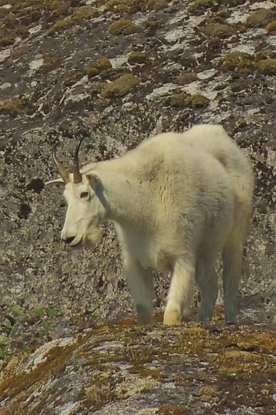 Mountain Goat Ewe Art Print
