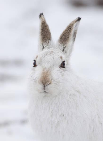 Photograph - Mountain Hare In The Snow - Lepus Timidus  #1 by Karen Van Der Zijden
