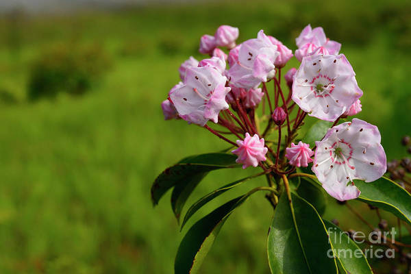 Kalmia Photograph - Mountain Laurel In Bloom by Thomas R Fletcher