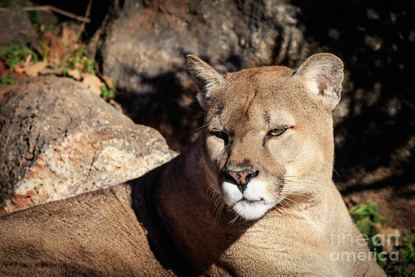 Photograph - Mountain Lion by Richard Smith