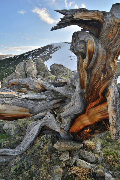 Photograph - Mt. Evans Bristlecone by Ray Mathis