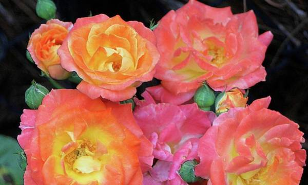 Photograph - Multi-color Roses by Jerry Battle