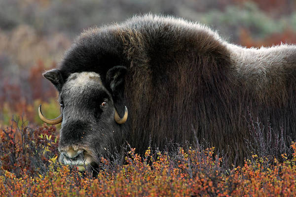 Photograph - Muskox by Arterra Picture Library