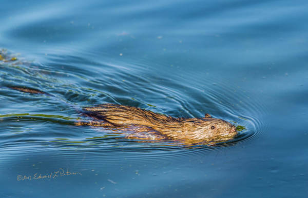 Photograph - Muskrat Spring Swim by Edward Peterson