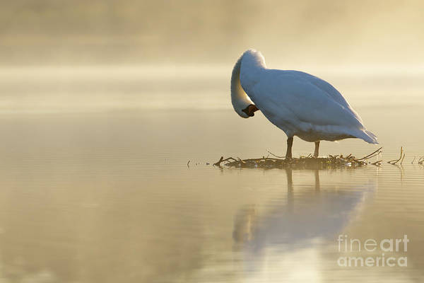 Mute Swan At Sunrise Art Print