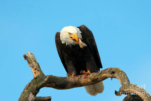 Fish Eagle Photograph - My Dinner by Mike Dawson