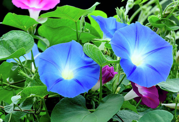 Wall Art - Photograph - My Morning Glory by Camille Lopez