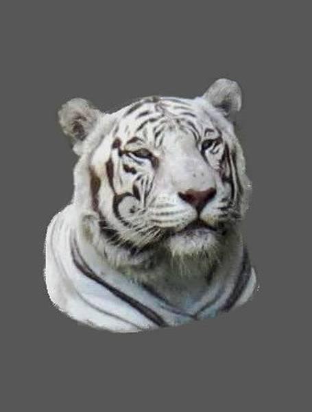 Photograph - Namaste White Tiger by Pamela Walton