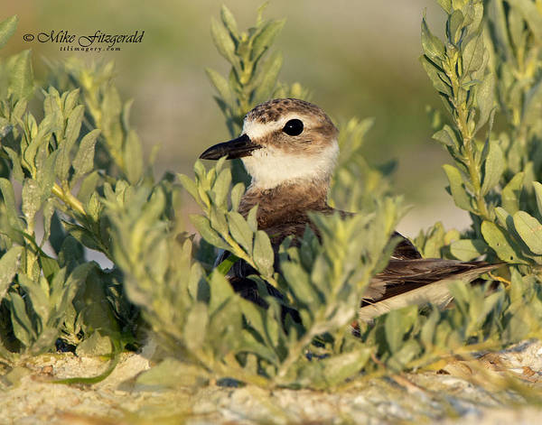 Photograph - Nesting by Mike Fitzgerald