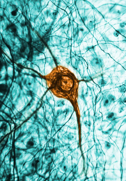 Photograph - Neuron, Tem by Science Source