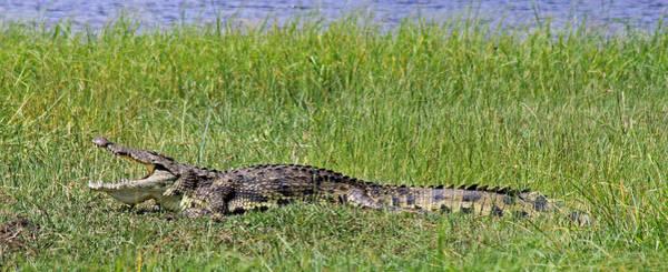 Photograph - Nile Crocodile by Tony Murtagh