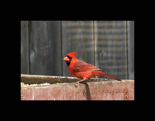 Photograph - Northern Cardinal 2 by Edward Peterson