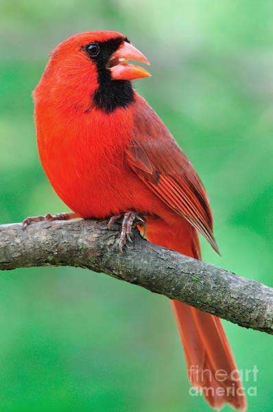Photograph - Northern Cardinal by Thomas R Fletcher