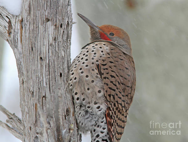 Northern Flicker Photograph - Northern Flicker by Gary Wing