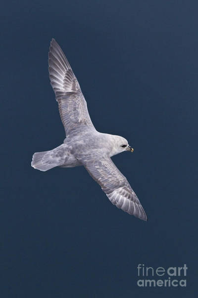 Wing Back Photograph - Northern Fulmar by Jean-Louis Klein & Marie-Luce Hubert