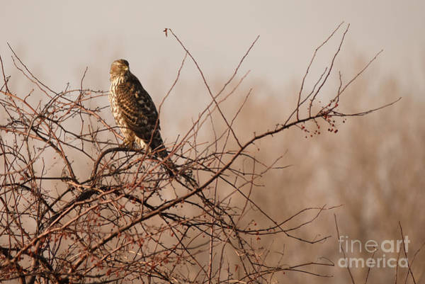 Photograph - Northern Goshawk by Charles Owens