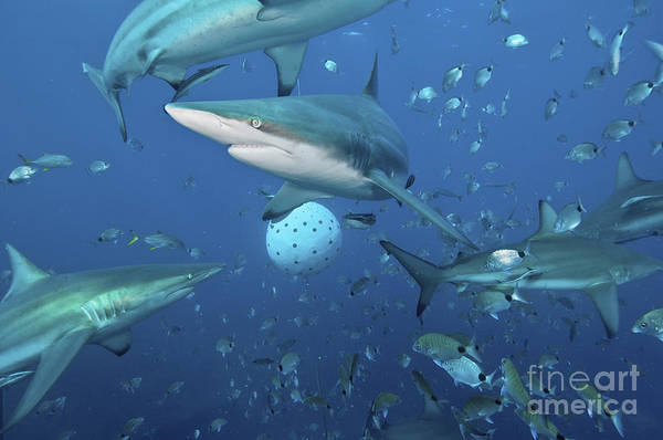 Bait Ball Photograph - Oceanic Blacktip Sharks Fighting by Mathieu Meur